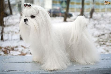 Maltese Dog Breed Information, Buying Advice, Photos and